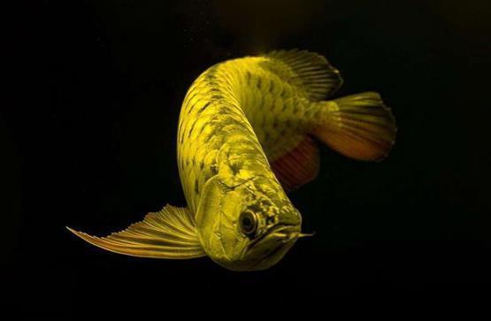 龙鱼品种都是什么?