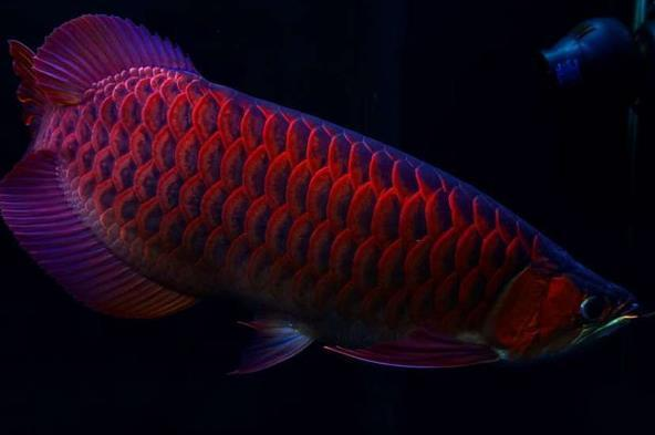 红龙鱼有几个品种?