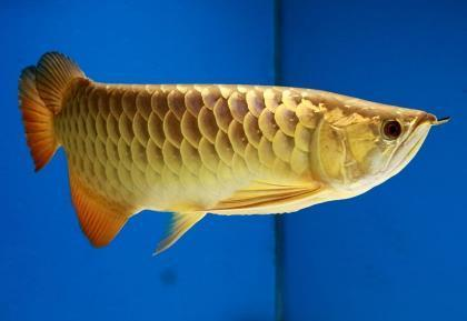 怎么提高金龙鱼的金质?