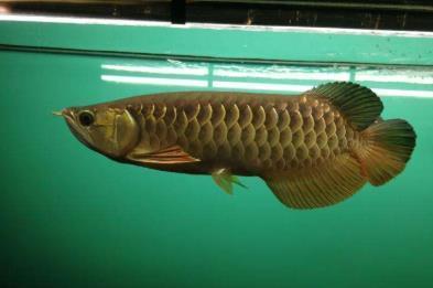 B过金龙鱼和宝石金龙鱼怎么分辨?