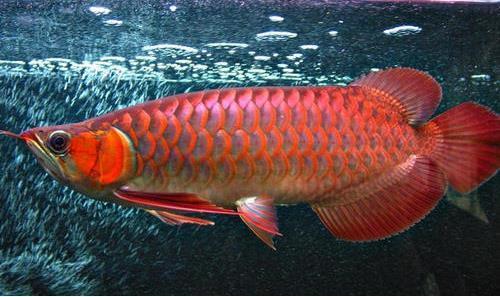 红龙鱼怎么搭配食物?