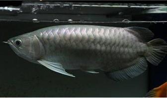 青龙鱼饲养环境有什么要求?
