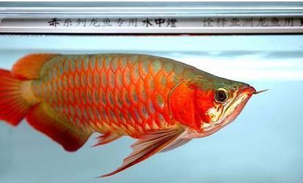 鱼虱病对龙鱼有哪些危害?