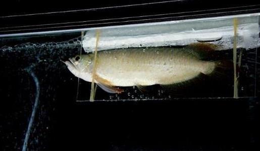 龙鱼失衡症有哪些症状?如何治疗?