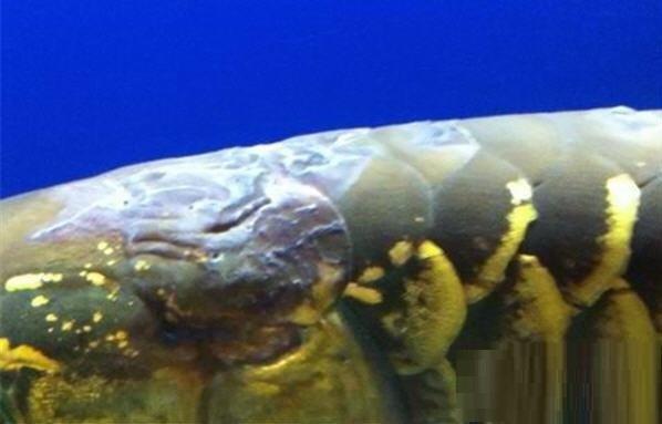 银龙鱼立鳞病怎么治疗?