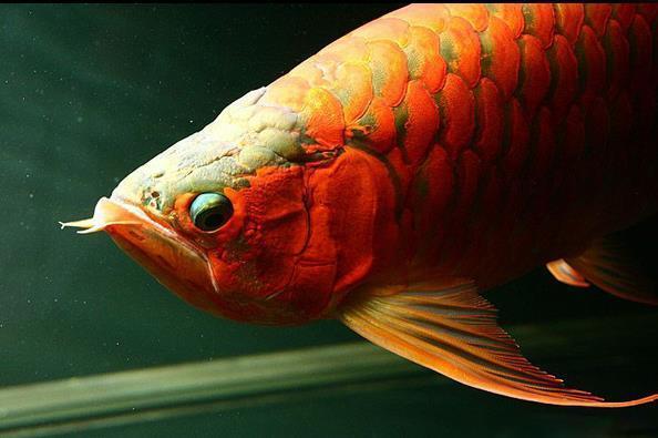 龙鱼掉眼是正常生理表现吗?