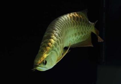 怎么给小龙鱼多样化食物