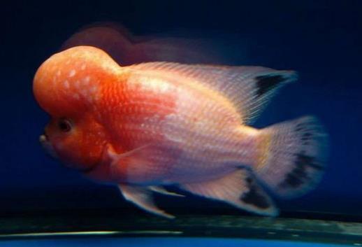 如何辨别真假黄金罗汉鱼?