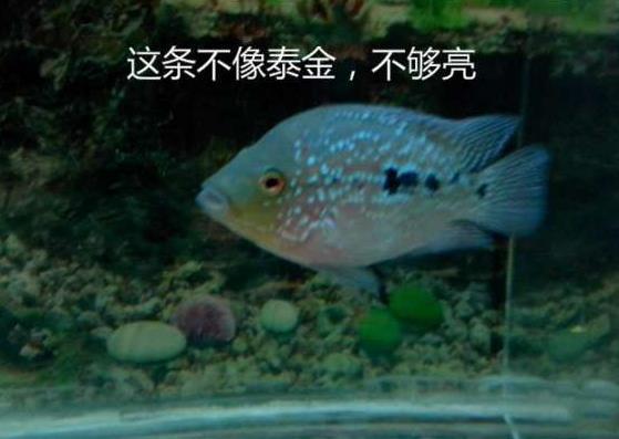 泰金罗汉鱼怎么辨别?