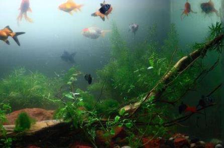 怎么去除鱼缸中的氨?用硝化细菌吗?