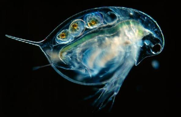 水蚤是罗汉鱼饵料吗?怎么养殖?