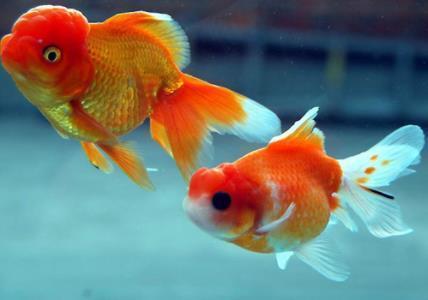 金鱼种类有哪些