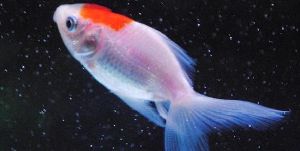 鱼鳍充血原因是什么