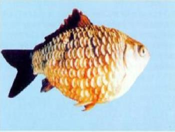 热带鱼掉鳞怎么回事?