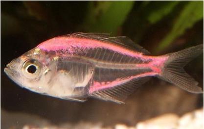 玻璃拉拉鱼体长几厘米?