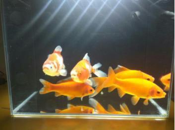 家庭鱼缸养鱼密度如何控制?