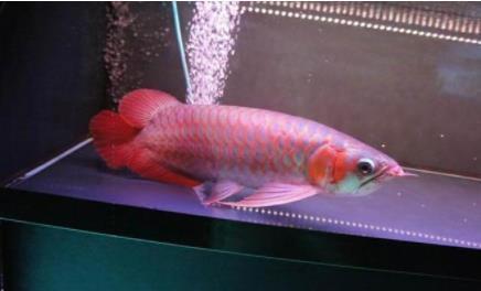 今年红龙鱼价格多少钱一条