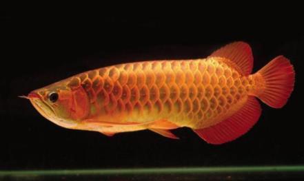 龙鱼常见9大病症是什么?