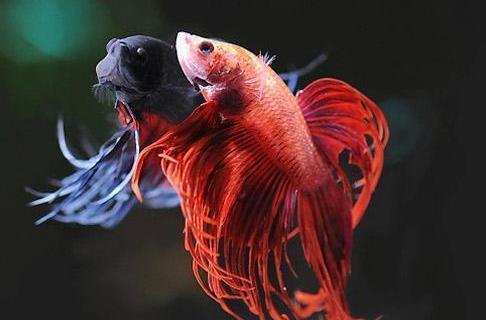 中国斗鱼有多少种疾病