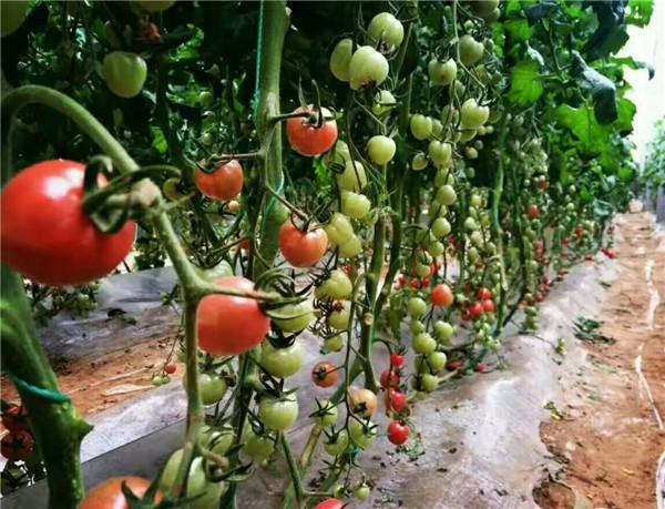 番茄采摘生态园