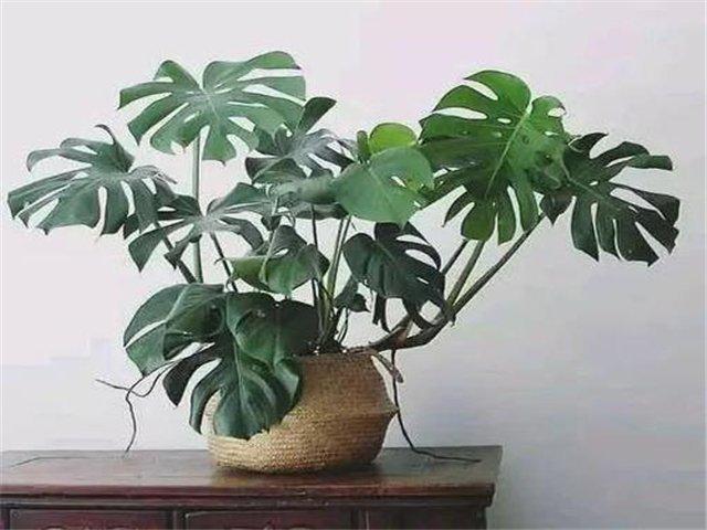 新房放什么东西吸甲醛?吸甲醛最好的植物排行
