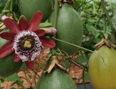 木瓜蜜香百香果苗