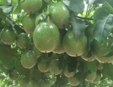 大果黄金百香果苗