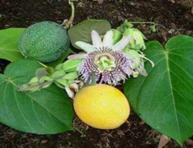 哥伦比亚黄金百香果果苗