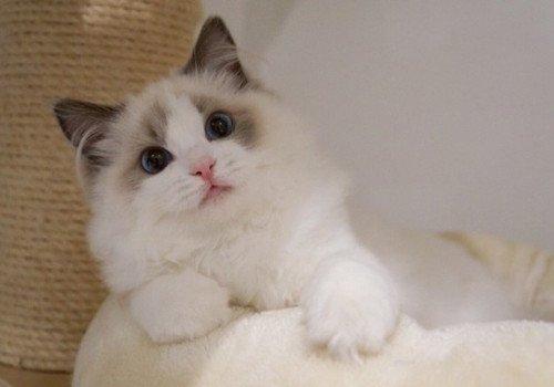 布偶猫的价钱