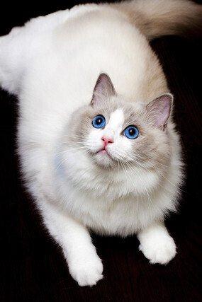 布偶猫尴尬期