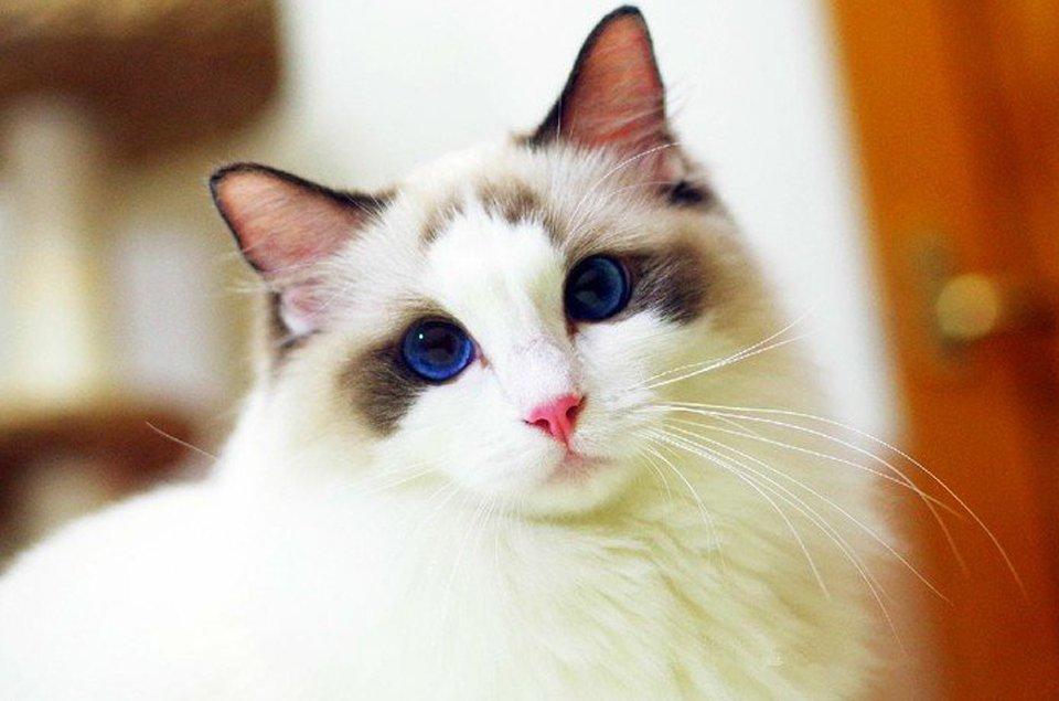 养布偶猫咪
