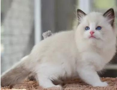 布偶猫品相