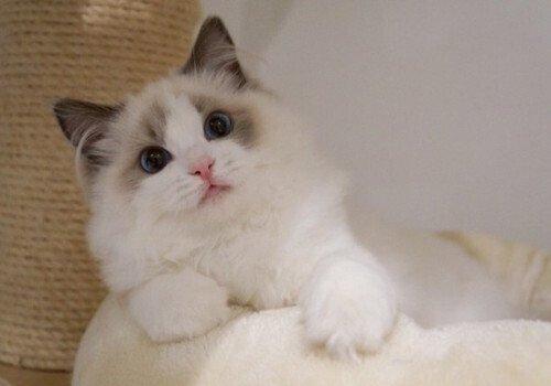 布偶猫花色