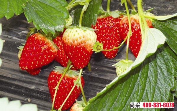 草莓根腐病怎么治疗?用什么药