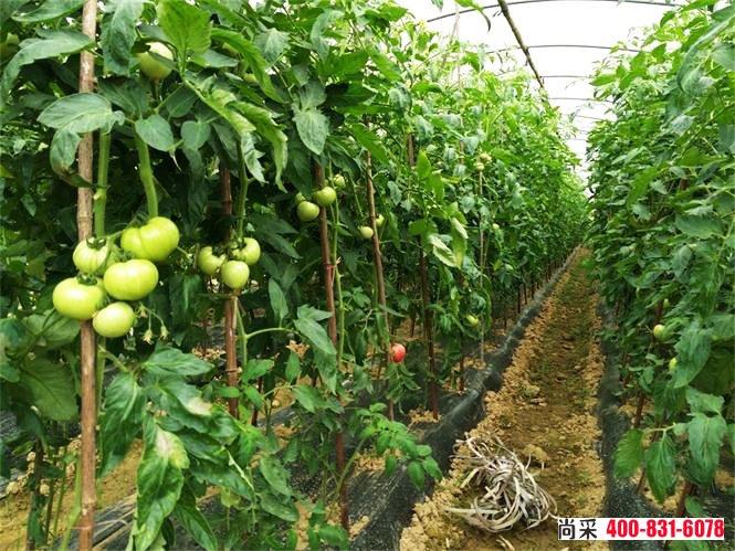 西红柿根腐病怎么治?有哪些防治措施