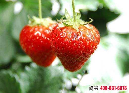 草莓蓟马用什么药好?草莓上有了蓟马不要怕,这样做能治住!