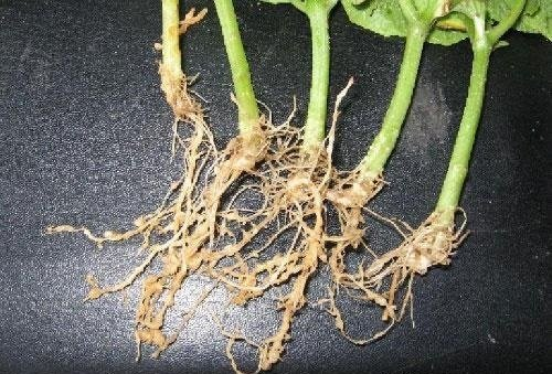 我的芹菜有根线虫怎么办?芹菜根线虫症状、传播途径以及防治方法