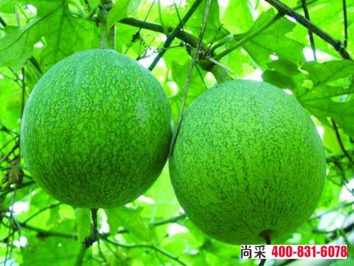 瓜蒌根结线虫怎么治?瓜蒌的发生与防治方法