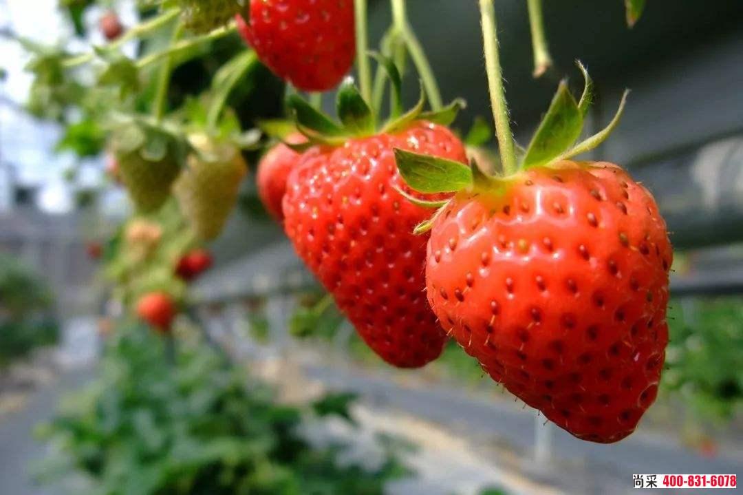 草莓红中柱根腐病,这些你不得不了解