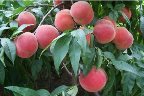 桃树根腐病的预防及治疗