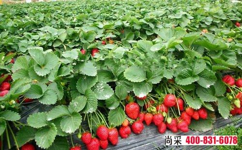 陕西西安杨经理20天发20多箱草莓白粉病专用艾秋白,继续补货中...