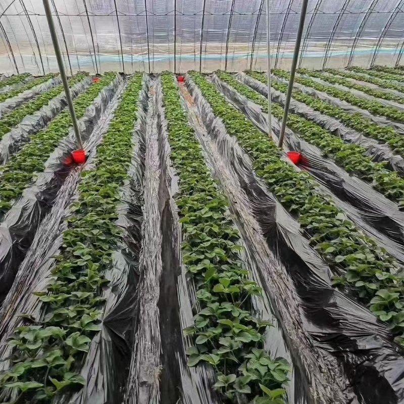 为什么张经理今年还选择河南尚采农业的抗性白粉病防治产品艾秋白?