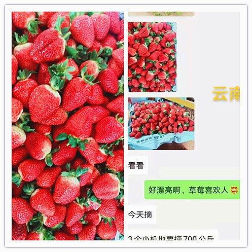 河南水溶肥厂家哪家好?草莓种植户说用了根美力和果美力品质好又增产!