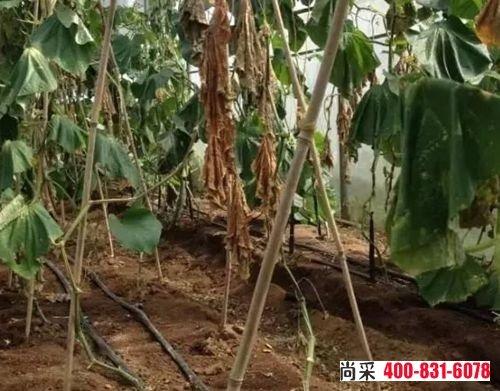 有根结线虫病的黄瓜生长矮小,缓慢,颜色异常,结果比较少,产量比较低,叶片黄化