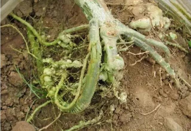 大棚黄瓜根线虫如何防治?引起原因?