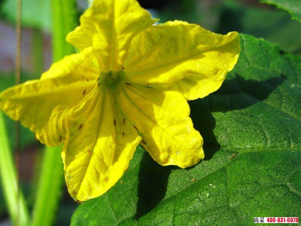 蓟马危害黄瓜花器、嫩果受害后期:变褐色逐渐枯萎。