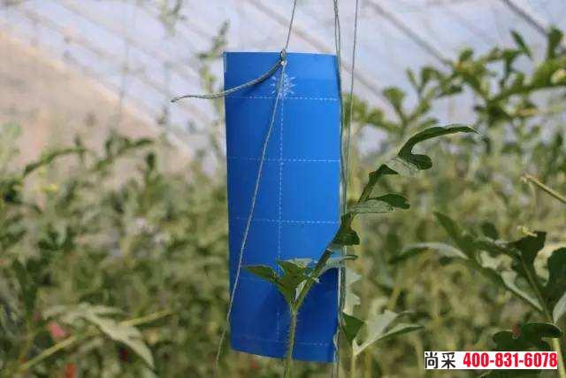 蓝板对蓟马类害虫防治效果