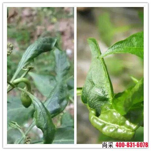 蓟马、茶黄螨危害辣椒与病毒病的区别危害叶时:蓟马危害辣椒的叶时,与病毒病症状类似,叶片萎缩,成上扣形状,而茶黄螨成下扣形状