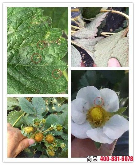 草莓蓟马基本一年四季均有发生,第一是秋季或入冬的9-11月份以及来年的3-5月份为草莓蓟马的爆发的高峰期