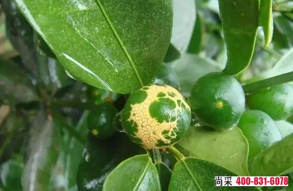 柑橘蓟马防治用什么农药效果好?(内附高清危害叶片、幼果图片)